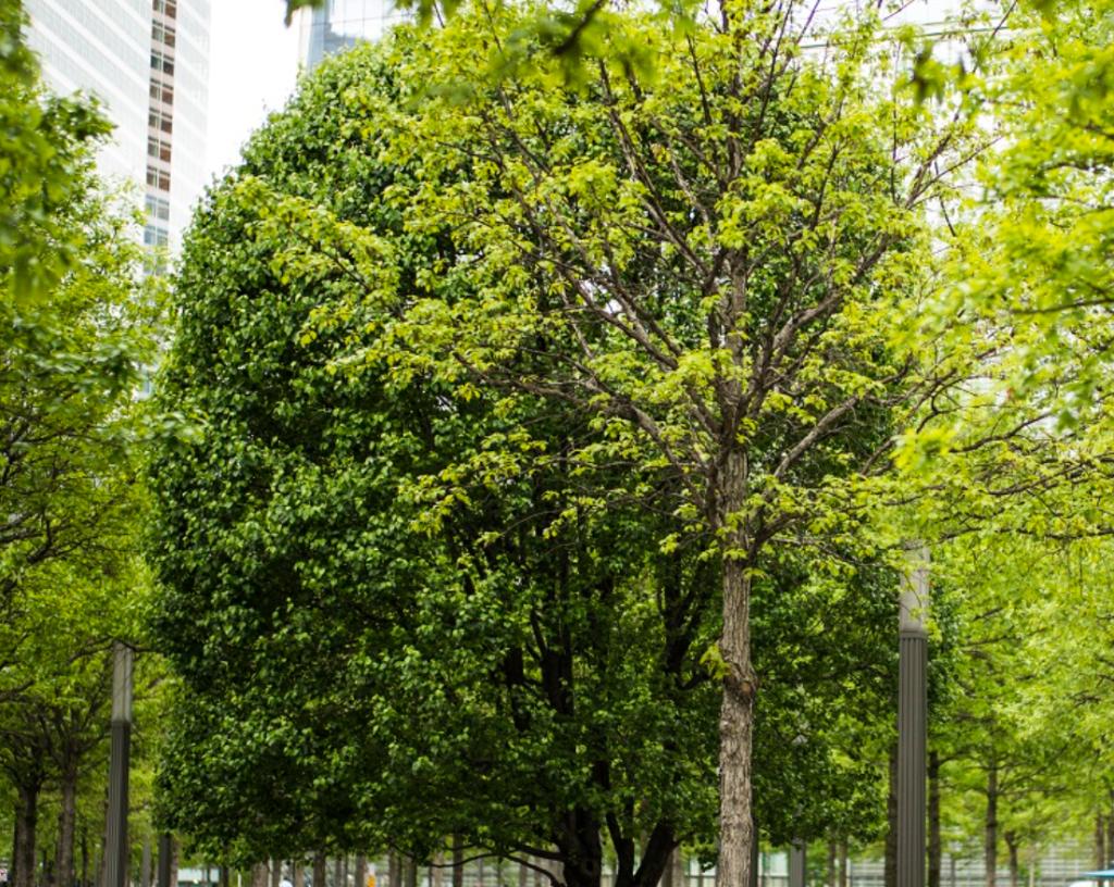 Survivor Tree, l'unico albero sopravvissuto agli attacchi e che simboleggia la rinascita.